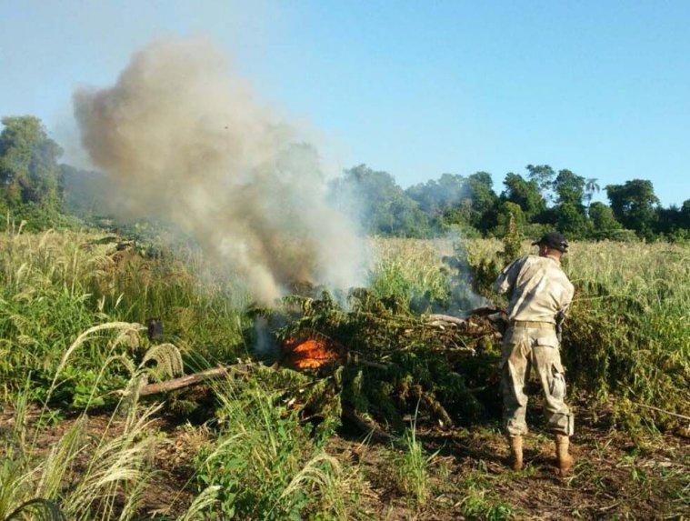 Hallan cultivos de droga en colonias indígenas